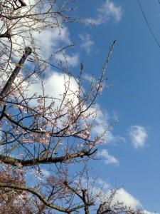 ソメイヨシノとは違う花