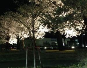 桜の写真 フラッシュOFF
