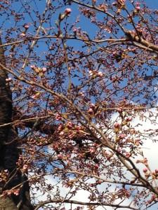 花が開きそうな桜