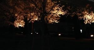 フラッシュオフの桜